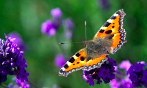 butterfly-on-purple-flowers.jpg