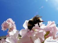 bumblebee-on-flowers.jpg