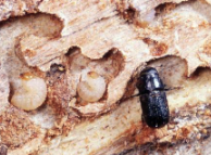 Adult bark beetle and larvae - Photo by Dion Manastyrski - BC Ministry of Forests