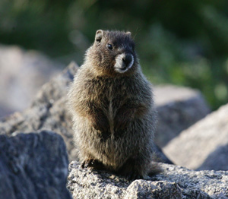 Yellow-Bellied Marmot - photo ConserveNature.org