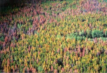 Pine Beetle Bites http://www.ecologicalhope.org/featured/when-what-is-predicted-actually-happens/